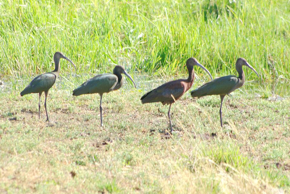 ibises-OX.jpg